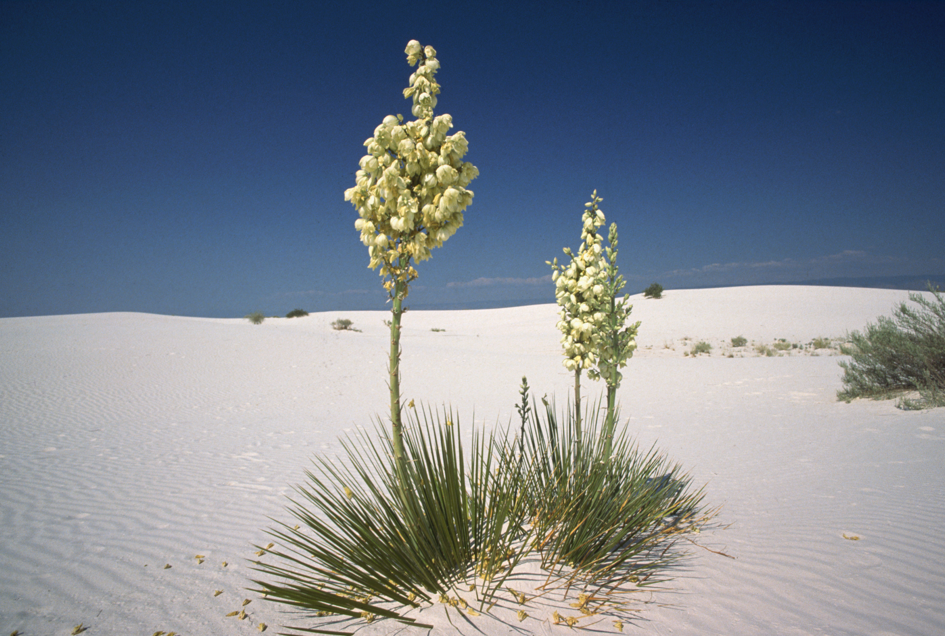 yucca at white sands national monument New Mexico New Mexico H