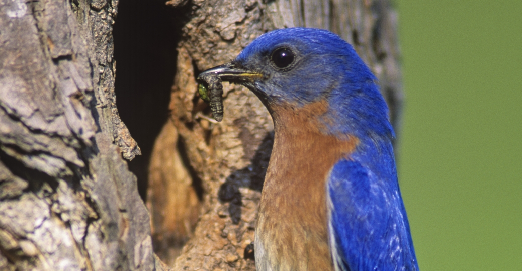 bluebird, new york, state bird