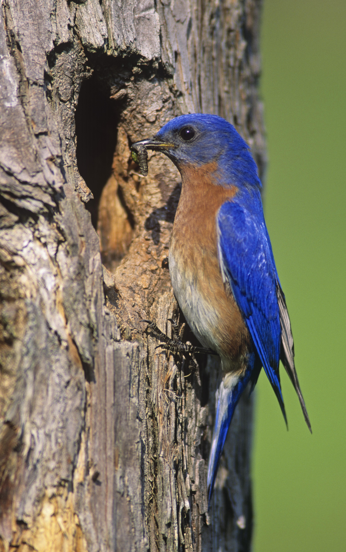 Bluebird New York State Bird