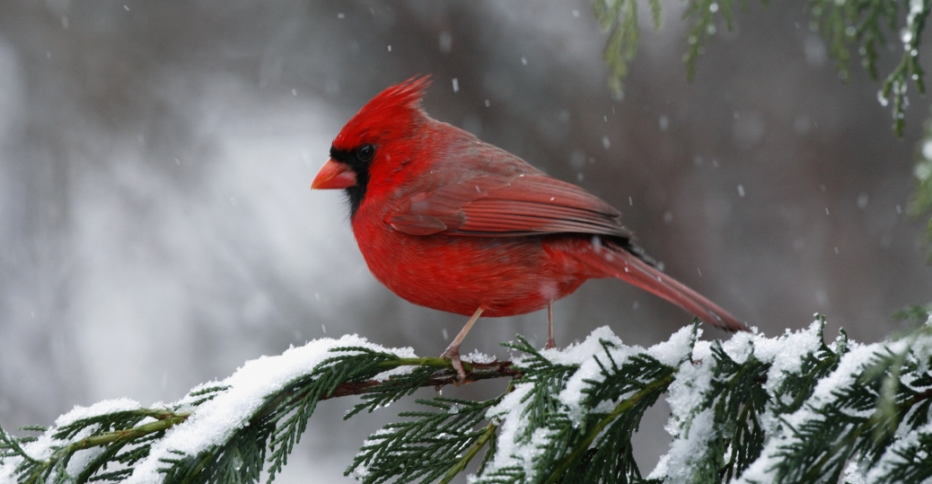 cardinal north carolina state bird