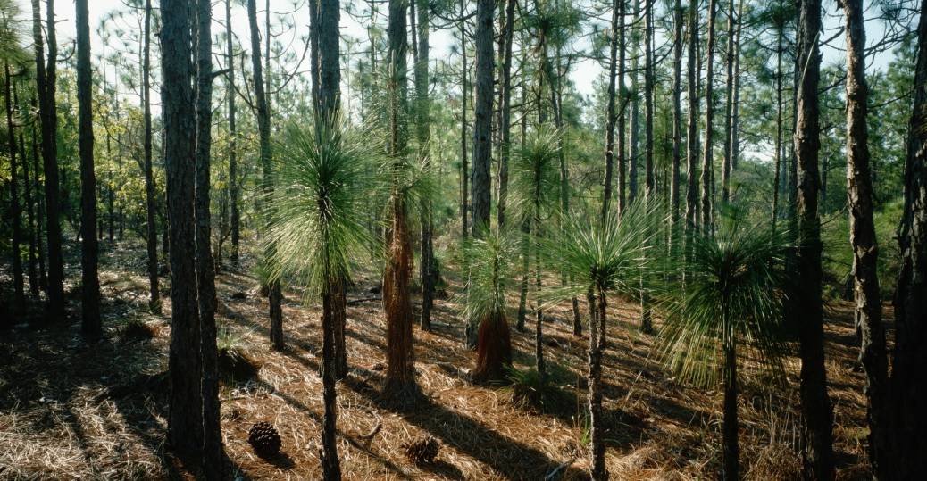pine tree, north carolina, state tree