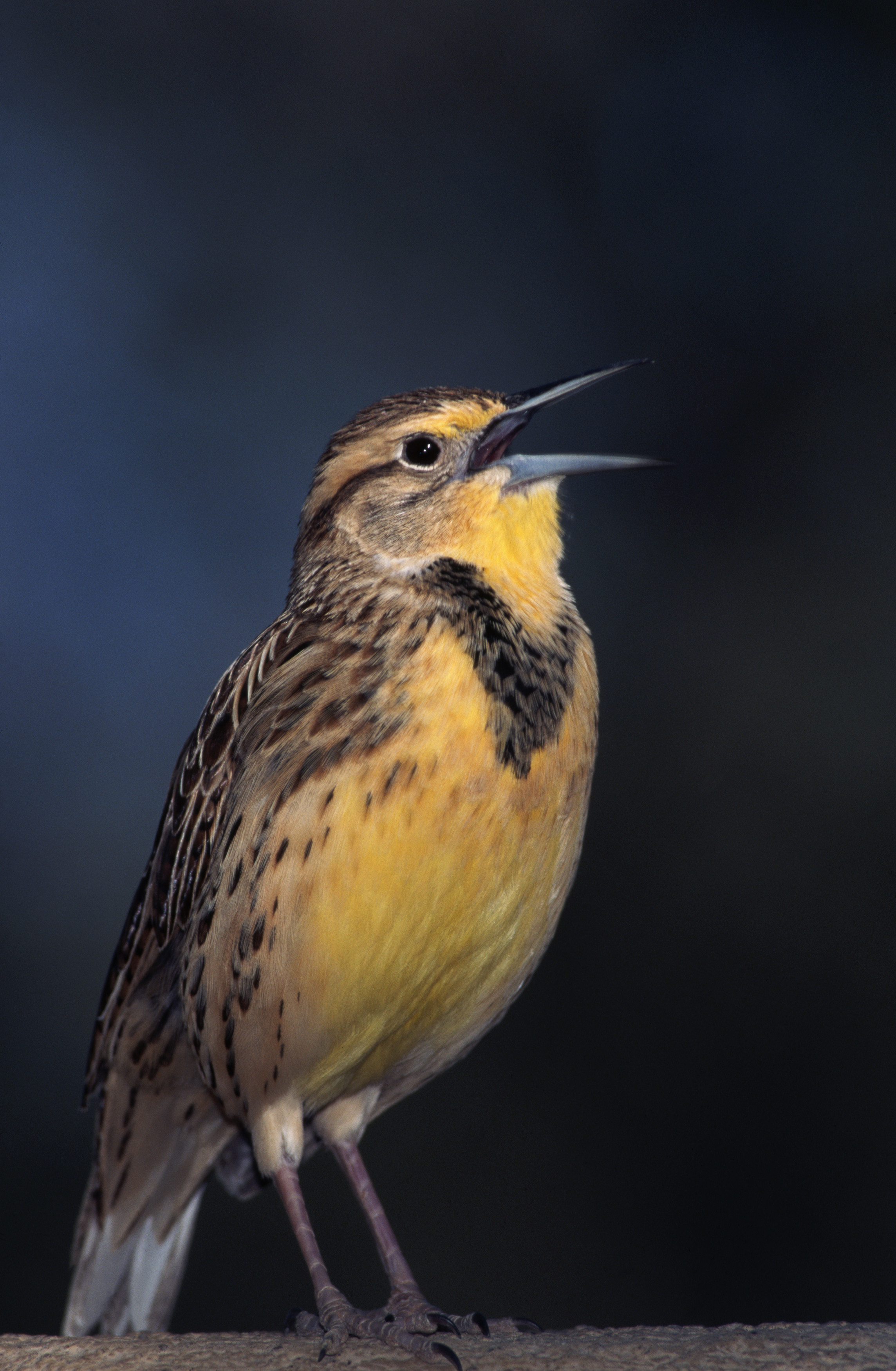 western meadowlark, north dakota, state bird