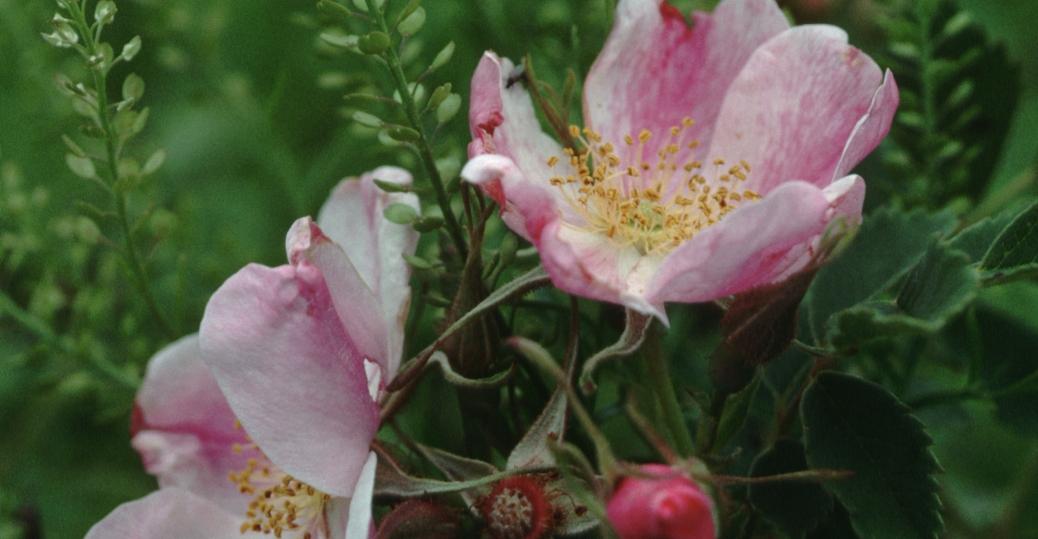 prairie rose, north dakota, state flower