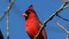 northern cardinal, cardinalis, state bird, virginia, cardinal