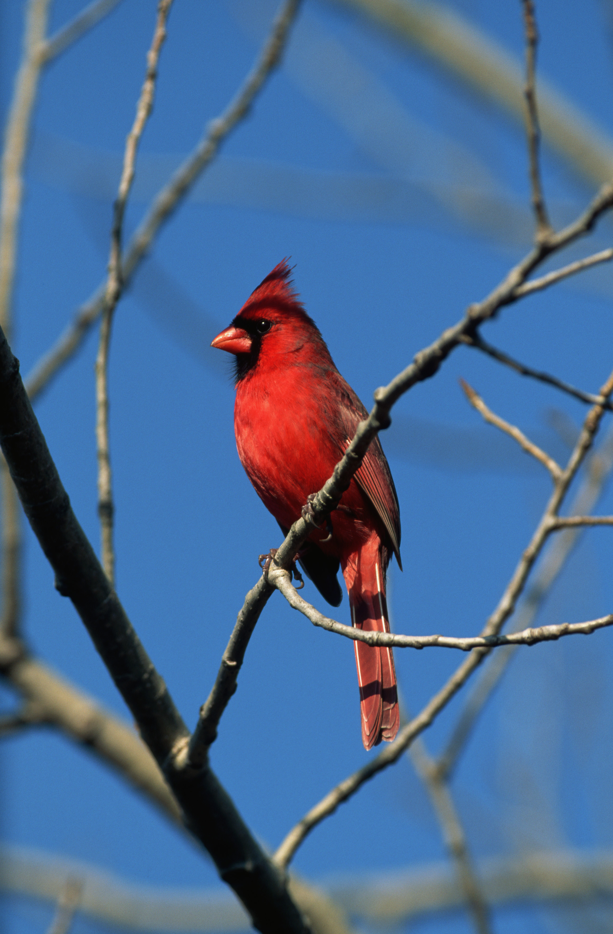 male northern cardinal in winter virginia pictures virginia