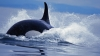 san juan islands, orcas, orca pods, washington