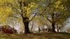 sugar maple, west virginia, state tree, spring