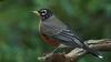 the robin, american robin, turdus migratorius, state bird, wisconsin