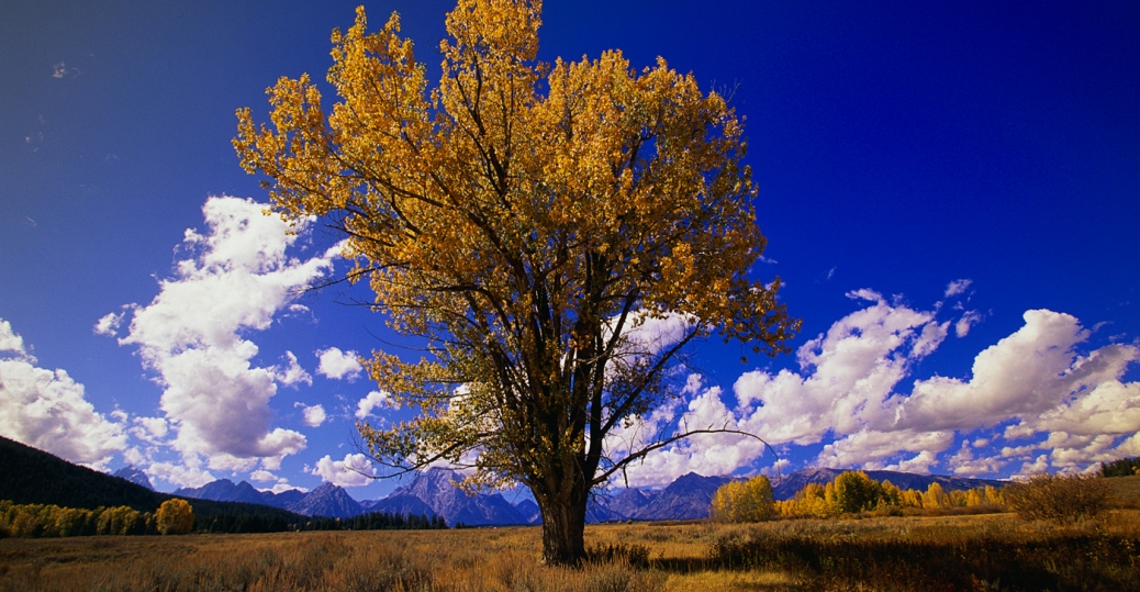 cottonwood, populus sargentii, state tree, wyoming