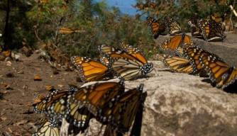 Michoacan Monarchs