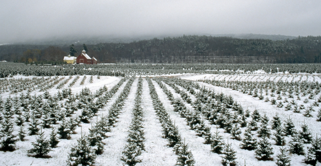 billings farm, woodstock, vermont, christmas trees, christmas tree farm
