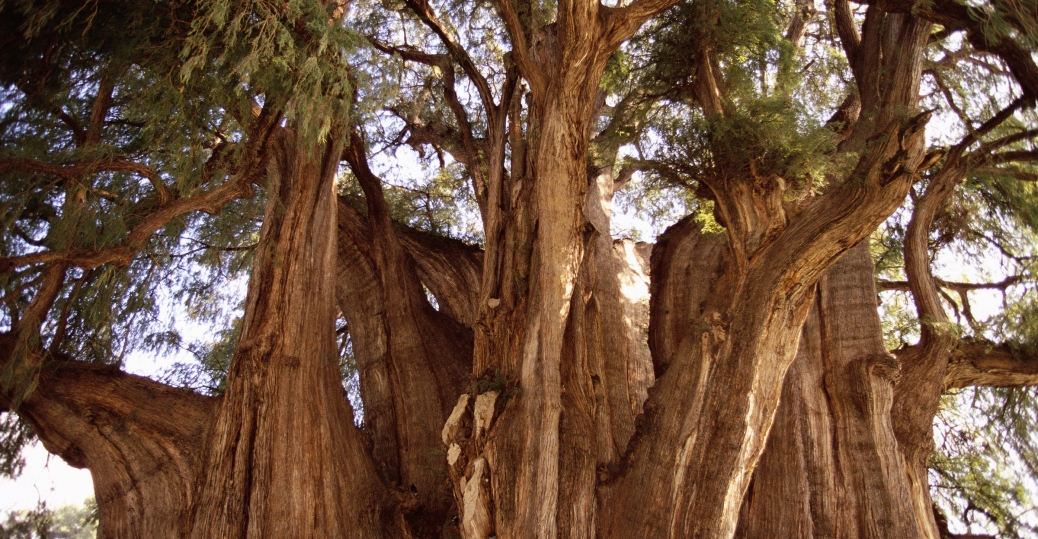 tule tree, oaxaca, mexico, montezuma baldcypress tree, 2000 years old