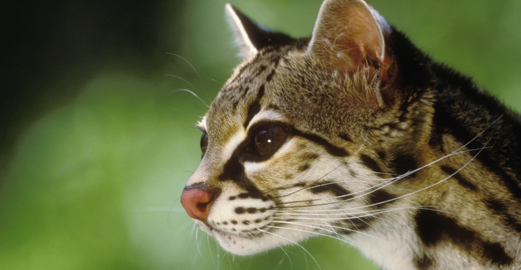 head of ocelot, chiapas, mexico
