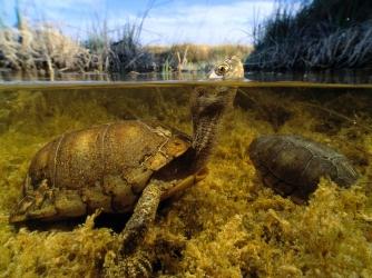 coahuila, mexico, box turtles