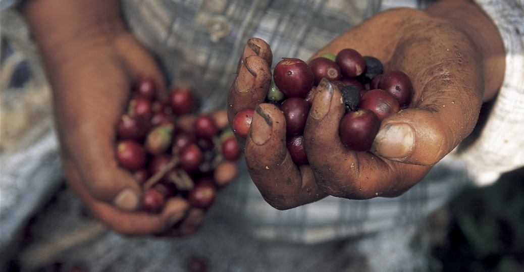 coffee beans, guerrero, mexico, coffee cherries