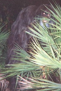 A still from the 2000 Florida skunk ape sighting (Credit: Getty Images)