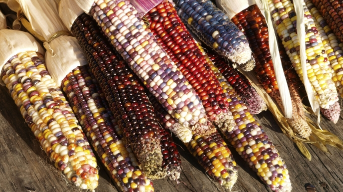 HUNGRY Indian Corn: A Fall Favorite