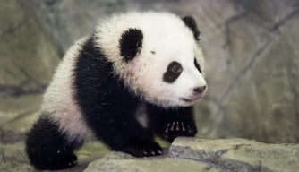 Bao Bao, the National Zoo's newest panda cub, meets the media for the first time on January 6, 2014.