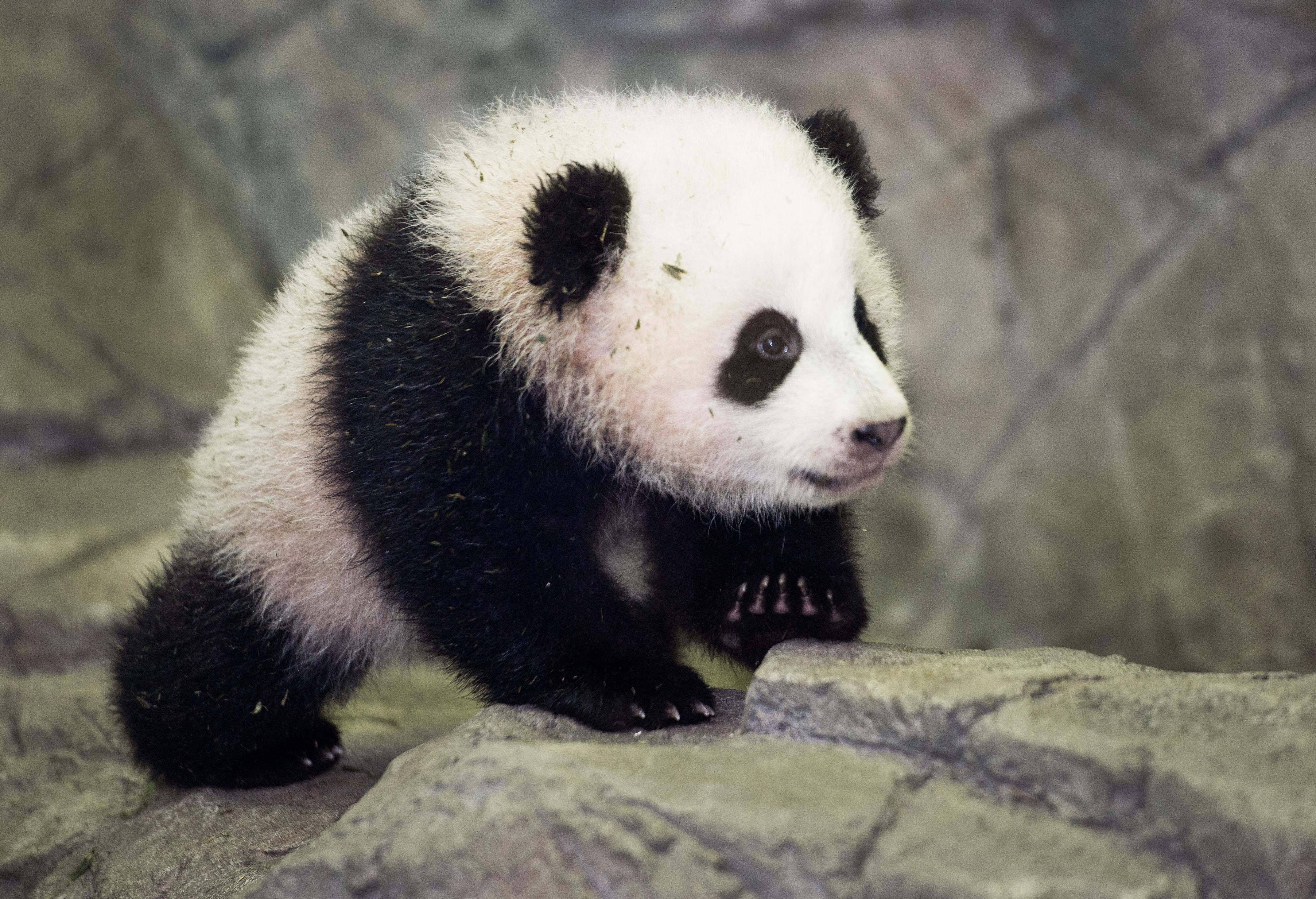 Panda Diplomacy: The World's Cutest Ambassadors - History in the ...