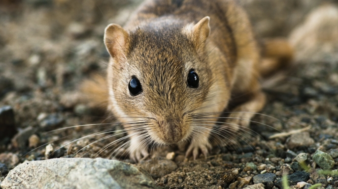 scientists blame gerbils not rats for the black death  scientists blame gerbils not rats for the black death