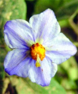 Solanum baretiae