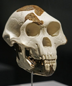 A full-scale replica of Lucy's skull (Credit: Craig Hartley/Bloomberg via Getty Images)