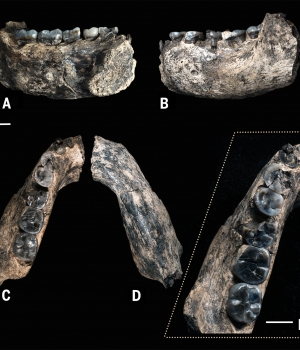 Close up view of the mandible just steps from where it was sighted by Chalachew Seyoum, an ASU graduate student from Ethiopia. (Credit: Kaye Reed)