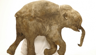 X-rays Provide Glimpse Into Short Lives of Baby Mammoths