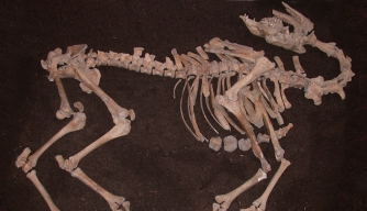 "Ottoman ""War Camel"" Skeleton Found in Austrian Basement"