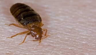 They're Back: A Bed Bug History