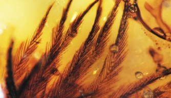 Feathers in Amber Shed Light on Dinosaur Plumage