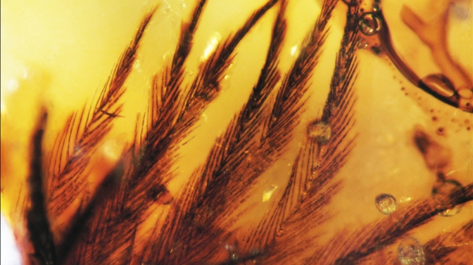 View of feathers found in Canadian amber deposits from the Late Cretaceous.