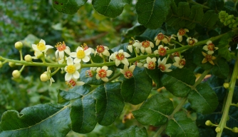 Leaves and flowers of a Boswellia sacra tree, a common source of frankincense.