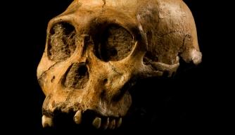 Human Ancestor Ate Leaves, Wood and Bark