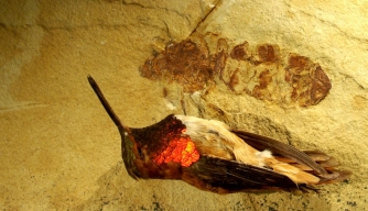 The giant ant whose fossil was recently found in Wyoming was roughly the size of a hummingbird.