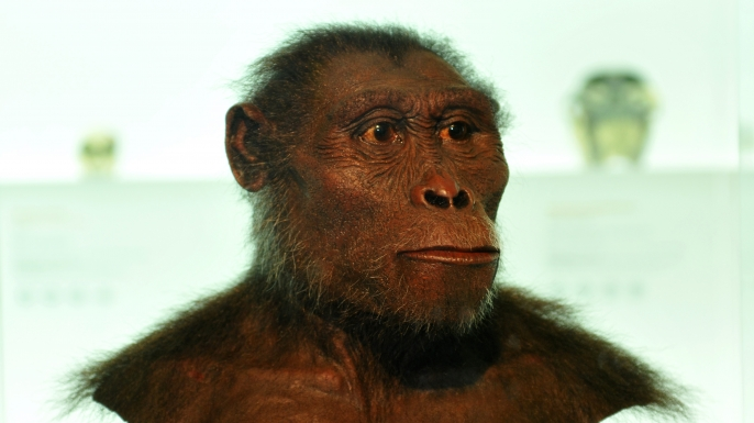 Model of the early hominin Lucy.