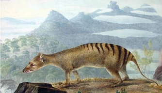 Were Tasmanian Tigers Unfairly Driven to Extinction?