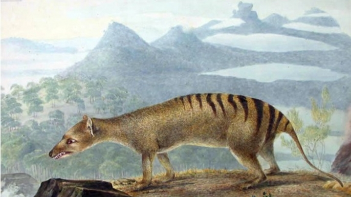 A 19th-century painting of the carnivorous marsupial known as the thylacine or Tasmanian tiger, which went extinct 75 years ago.