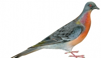 The Revival of the Passenger Pigeon?