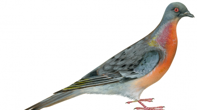 passenger pigeons, birds
