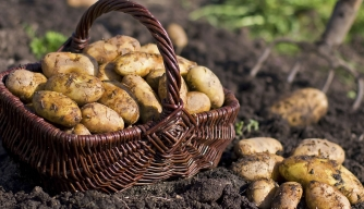 After 168 Years, Potato Famine Mystery Solved