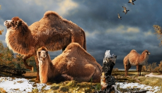 Depiction of the High Arctic camel on Ellesmere Island 3.5 million years ago.