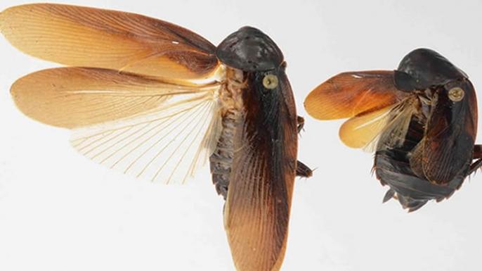 Periplaneta japonica, cockroach