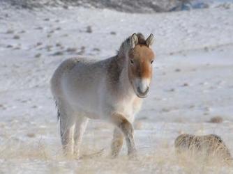 Przewalski horses in Western Mongolia (Credit: Claudia Feh/Association pour le cheval de Przewalski)