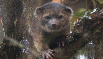 New Mammal Discovered in the Americas