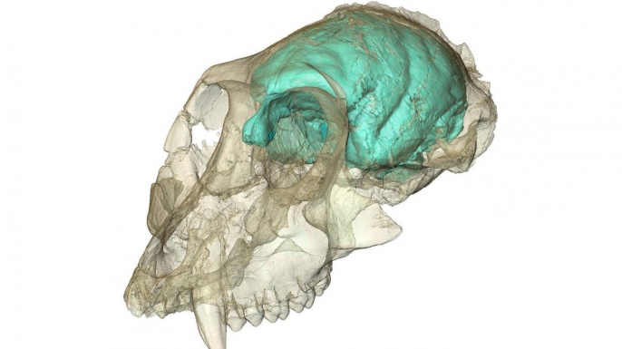 3-D computer imaging of the Victoriapithecus skull. (Credit: Fred Spoor/Max Planck Institute for Evolutionary Anthropology)
