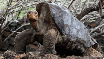 Lonesome George, who was the last giant tortoise on Pinta Island. (Credit: RODRIGO BUENDIA/Getty Images)