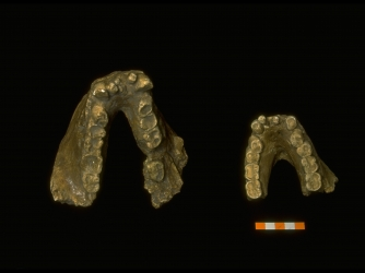 Fossilized Gigantopithecus jawbones found in Guangxi Liu Chen Zhu Yuan cave in 1955. (Credit: Forrest Anderson/The LIFE Images Collection/Getty Images)