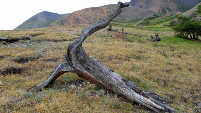 Studying old trees in the Altai mountains allowed reconstructing Eurasia summer temperatures over the last 2,000 years. (Credit: Vladimir S. Myglan)
