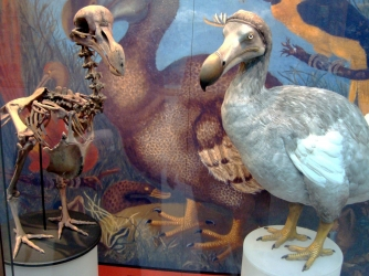 Skeleton cast and model of dodo at the Oxford University Museum of Natural History, based on modern research. (Credit: Oxford University Museum of Natural History)